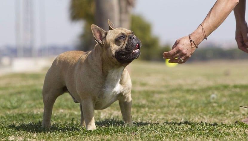 el perro puede mostrar una conducta agresiva e hiperactiva