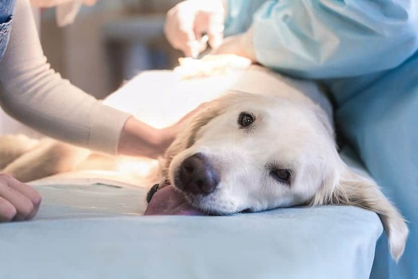 Sintomas de la leucemia canina