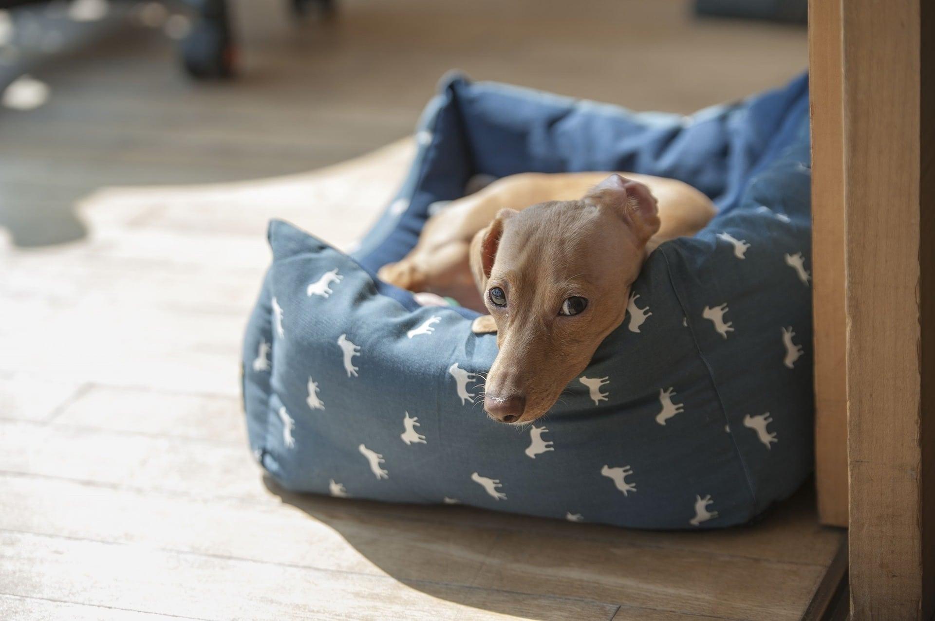 Si tu perro pasa mucho tiempo en la cama, quizás esté enfermo