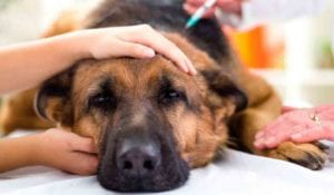 ¿Qué efectos secundarios puede sufrir el perro si toma acepromacina?