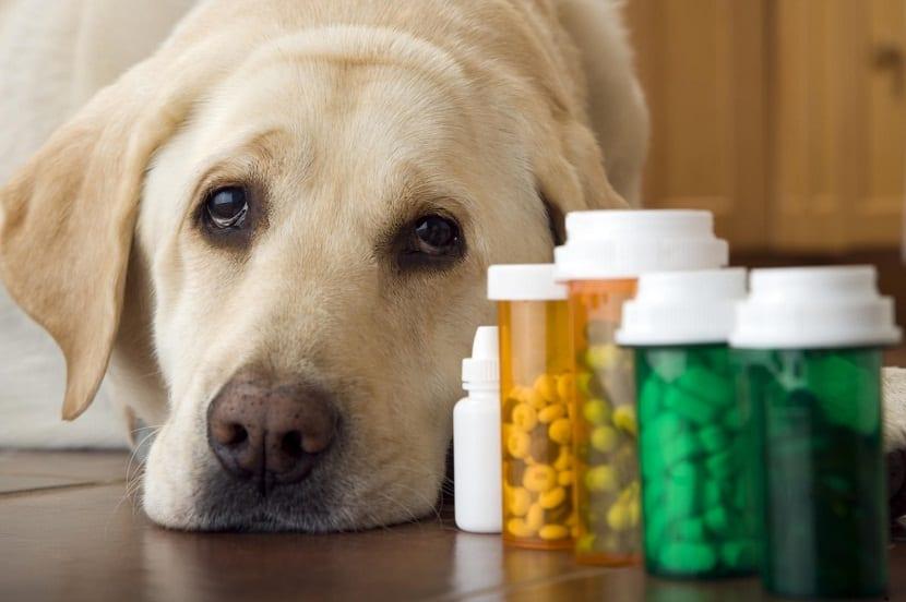 Principales causas del envenenamiento en perros y como podemos prevenirlas