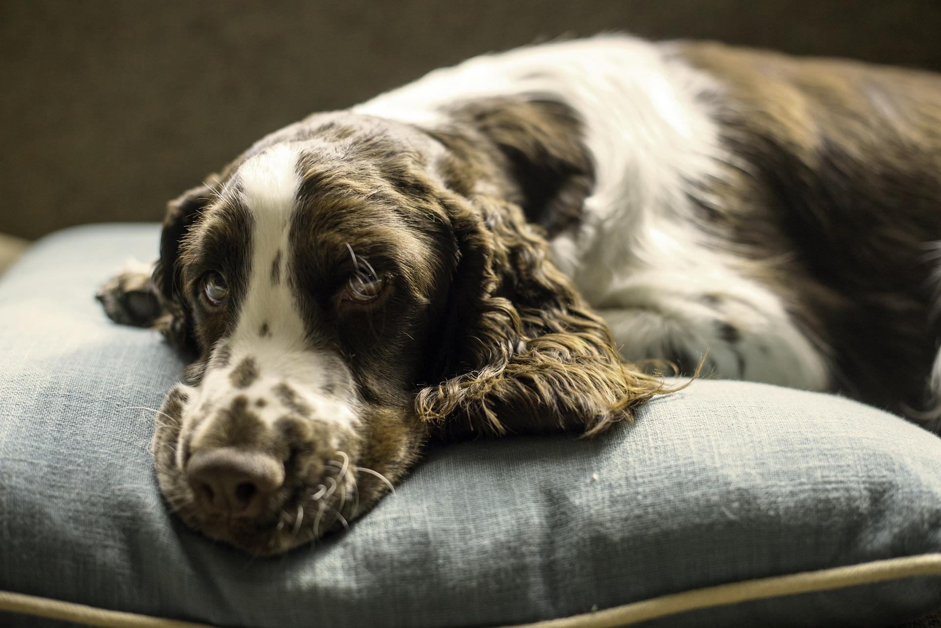 Hay muchas enfermedades que pueden tener los perros