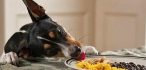 Perro obsesionado con la comida robando