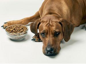 Si tu perro no come ni bebe, debes llevarlo al veterinario