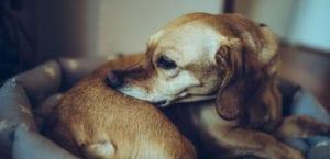 Perros con alergia