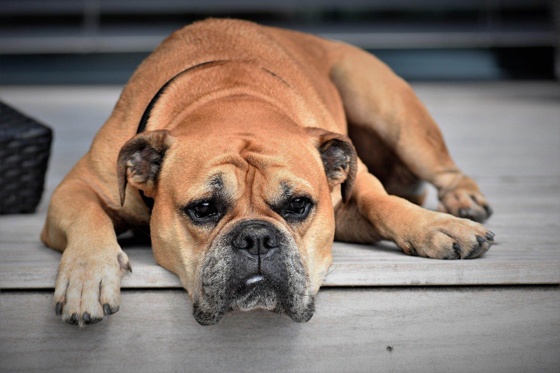 Los corticoides tienen efectos secundarios en los perros