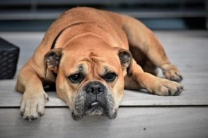 Bulldog tumbado