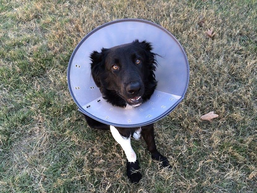los perros deberan llevar el cono isabelino durante unos dias