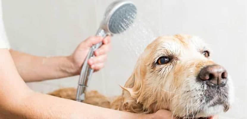Bañar a la perra en celo
