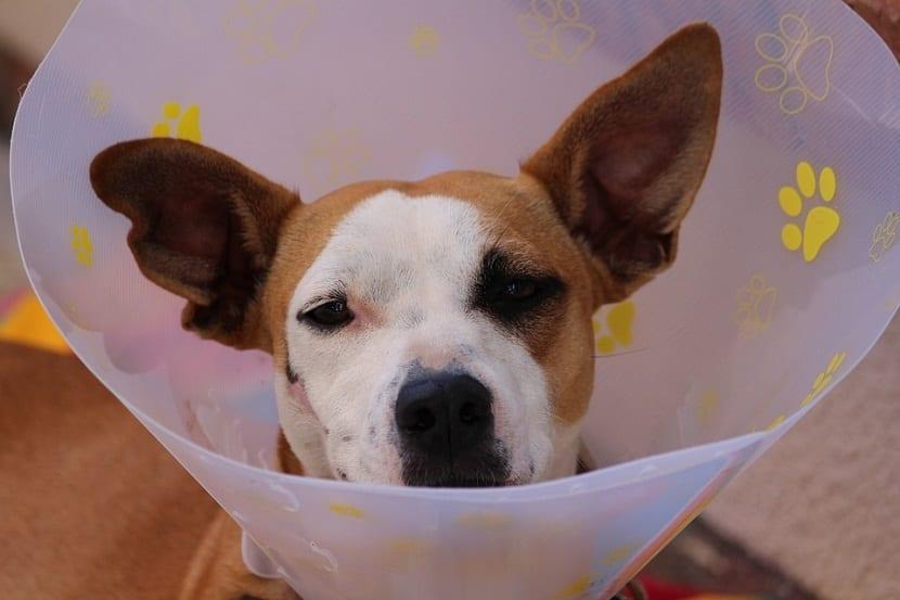 El cono es muy importante para que el perro no se haga heridas