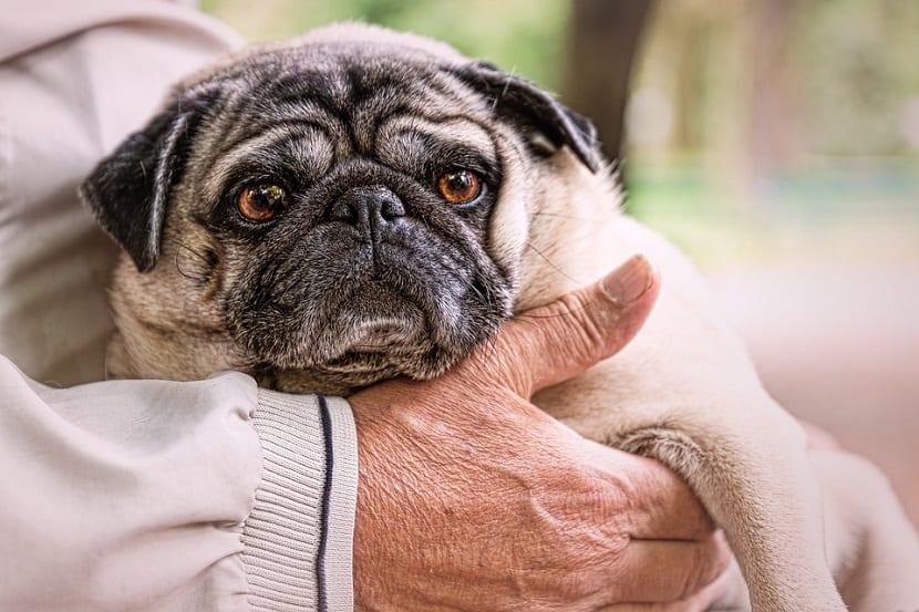 La vejez de un perro comienza a partir de los 10 u 11 años