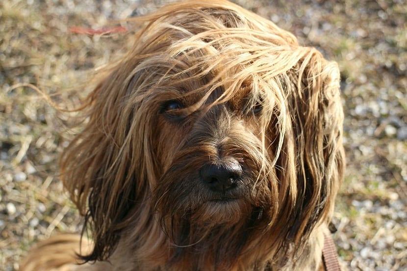 muda de pelo en los perros