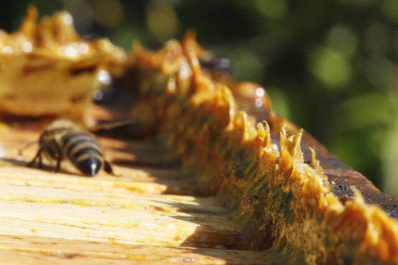 Propóleo de abejas