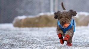 perro corriendo acercandose con una pelota y con botas para el frio