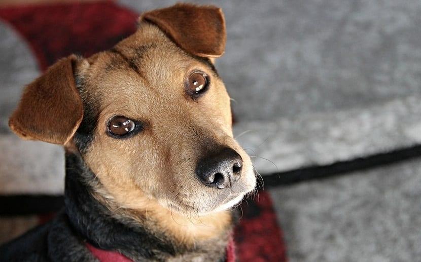 Las enfermedades o afecciones de la piel que afectan a los perros, son uno de los trastornos más normales
