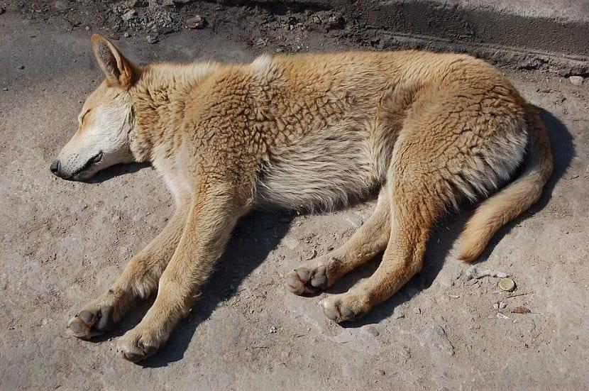 El pioderma se trata de una afección de la piel que afecta a los perros