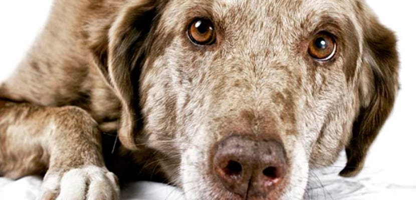 Perros senior para pisos pequeños