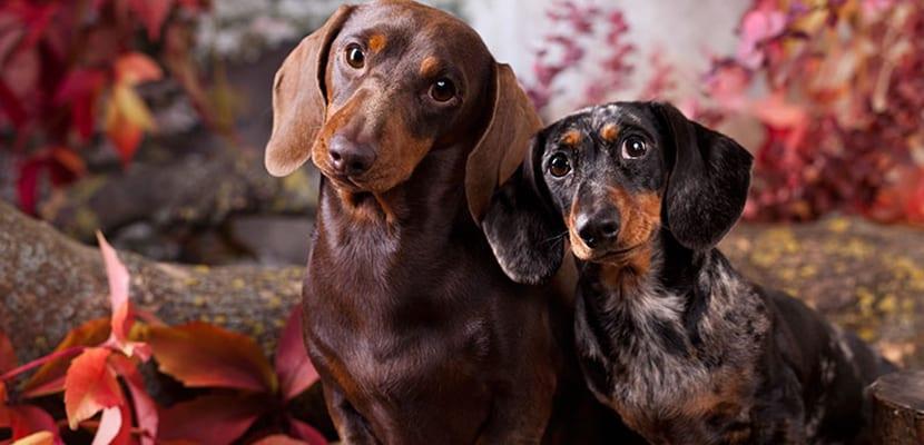 Perros pequeños para pisos