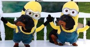 dos perros disfrazados de disfraz de minions