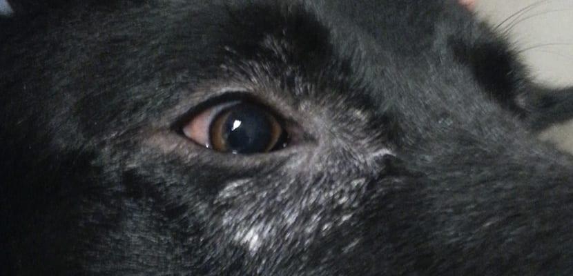 Perro con leismaniosis