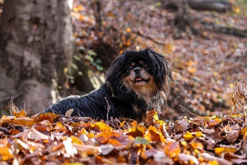 perro Spaniel Tibetano entre las hojas caidas en un bosque