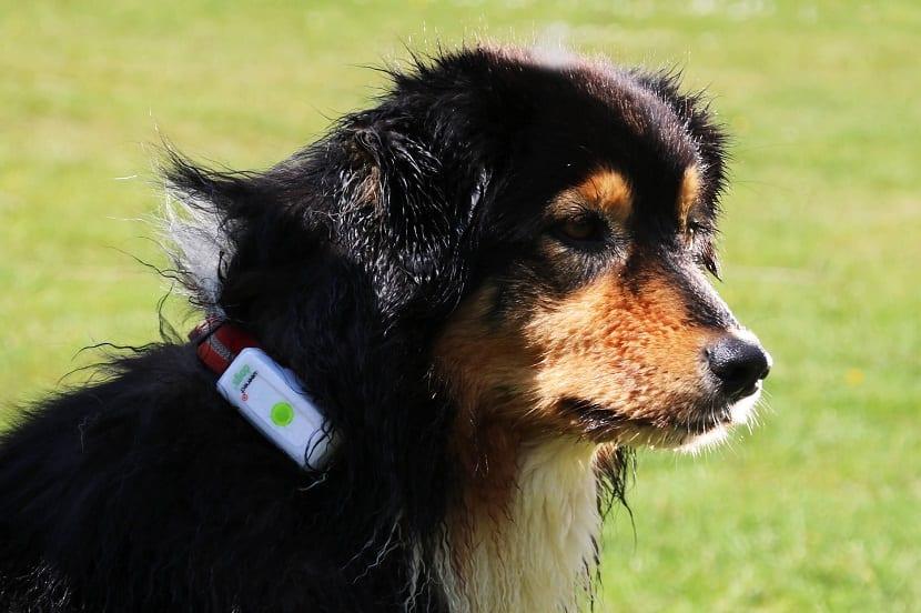 perro con gps en el cuello para que este no se pierda