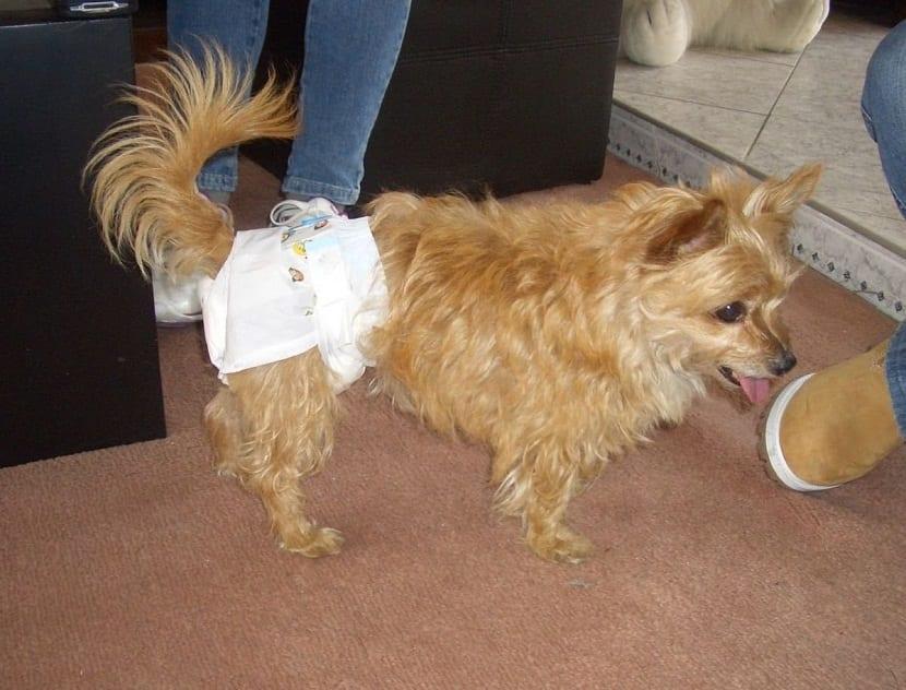 perro de tamaño pequeño y anciano con pañal