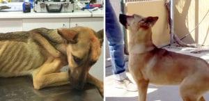 Recuperación de un perro desnutrido