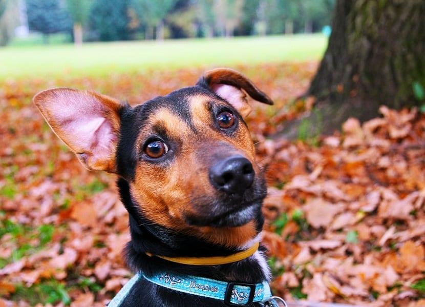 perro en un jardin lleno de hojas que lleva un collar azul