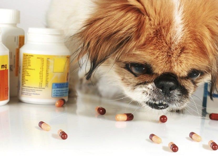 perro oliendo vitaminas que estan sobre la mesa
