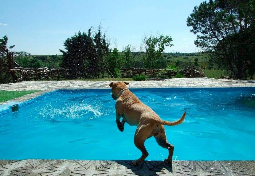 perro saltando a una piscina para poder resfrescarse