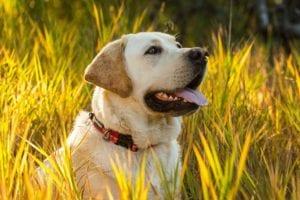 perro sentado en el campo con un collar de color rojo