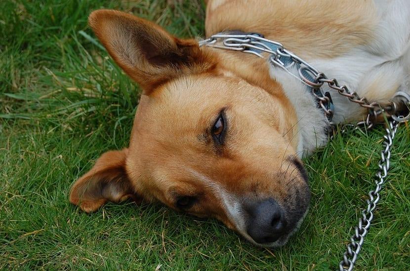 perro tumbado en el cesped con collar de estrangulamiento