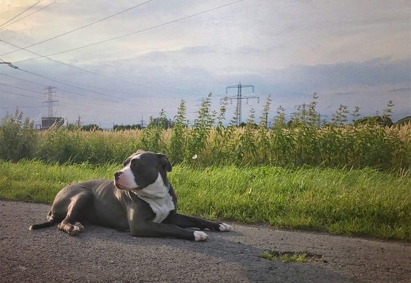 American Bully de color grisaceo con mancha blanca en el cuello sentado en la carretera