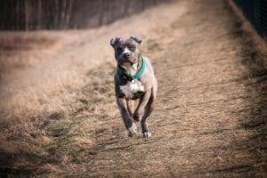 American Staffordshire corriendo de frente y de color marrón y blanco en el pecho