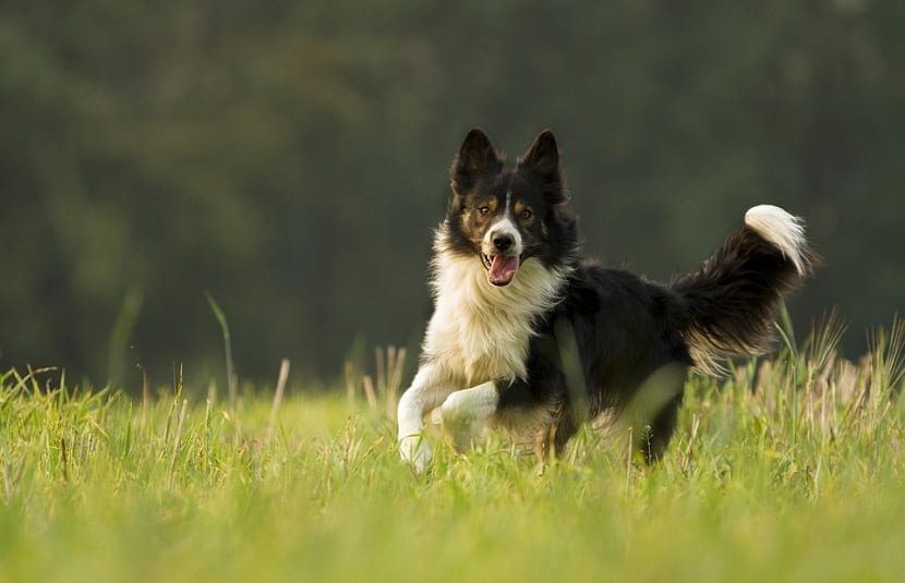 Border collie alegre y corriendo por la hierba