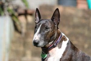 Bull terrier inglés sentado de colores marrones y blancos y hocico blanco