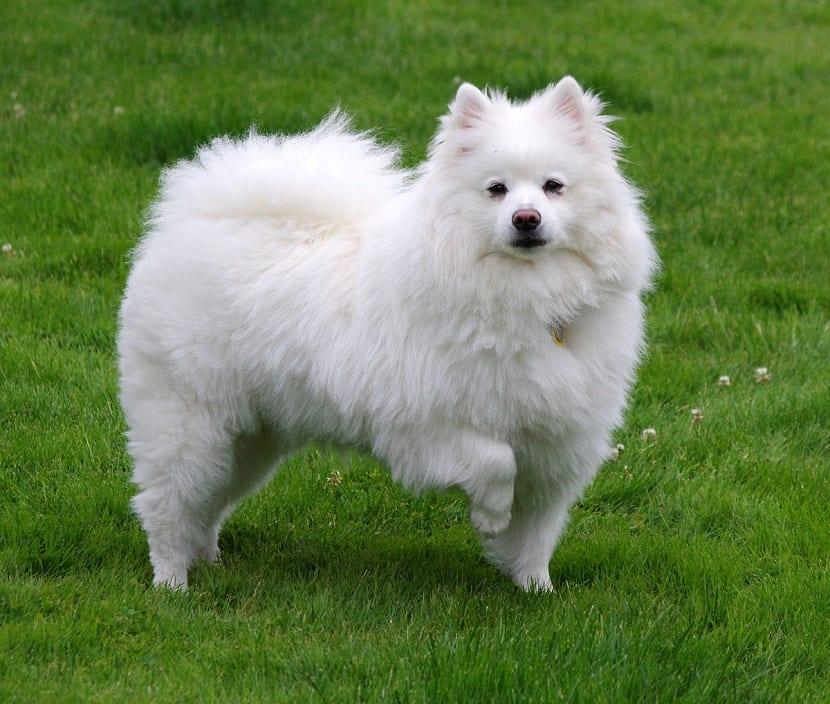 Perro esquimal americano atento y con la pata delantera levantada