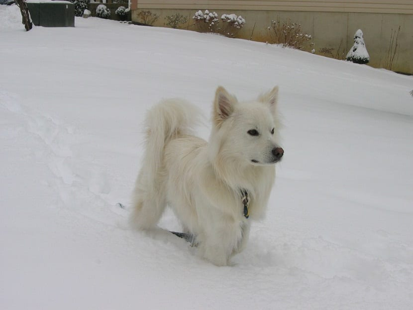 Perro esquimal americano dentro de la nieve donde solo se le ve el cuerpo