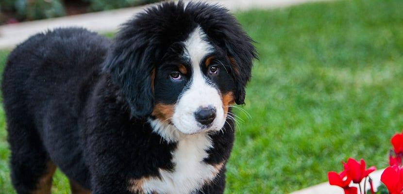 Cachorro Boyero de Berna