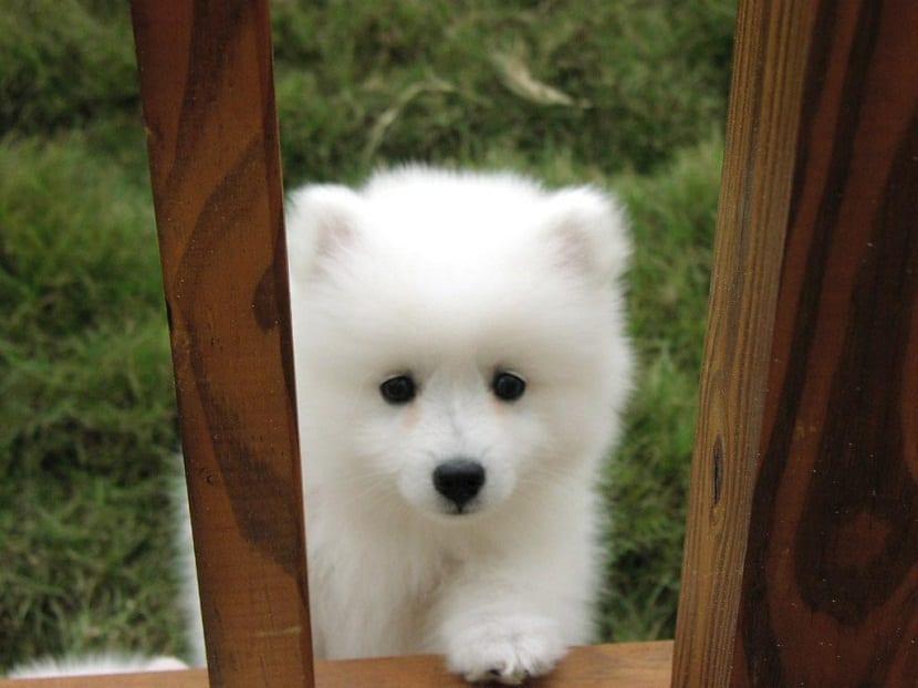 cachorro de raza esquimal americano asomandose por una ventana