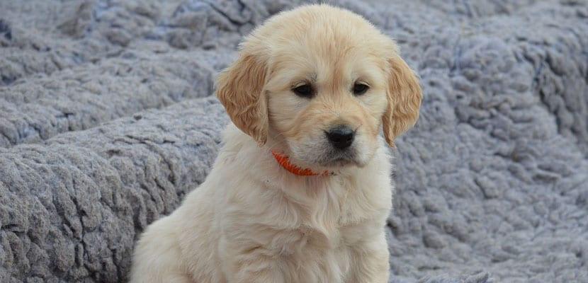 Cachorro del Golden Retriever