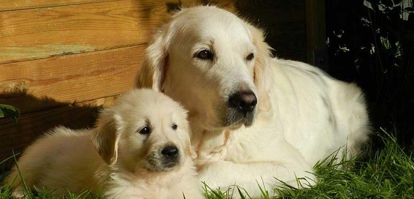 Golden Retriever con cachorro