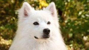 imagen de cerca de la cara de un perro esquimal americano mirando atentamente