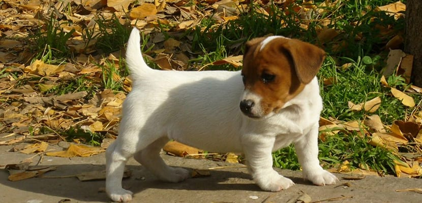 Jack Russell cachorro