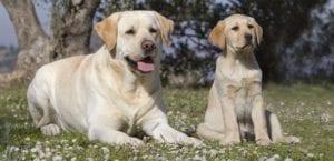 Labrador Retriever con cachorro