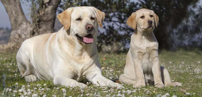 Labrador Retriever con cachorro