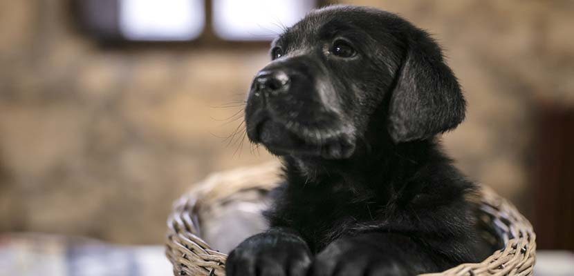 Labrador Retriever cachorro