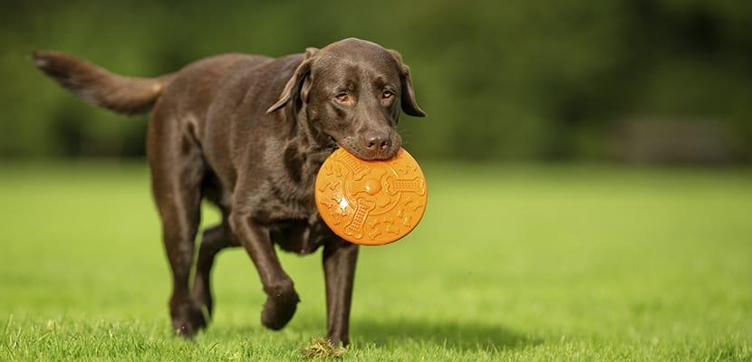 Labrador Retriever jugando