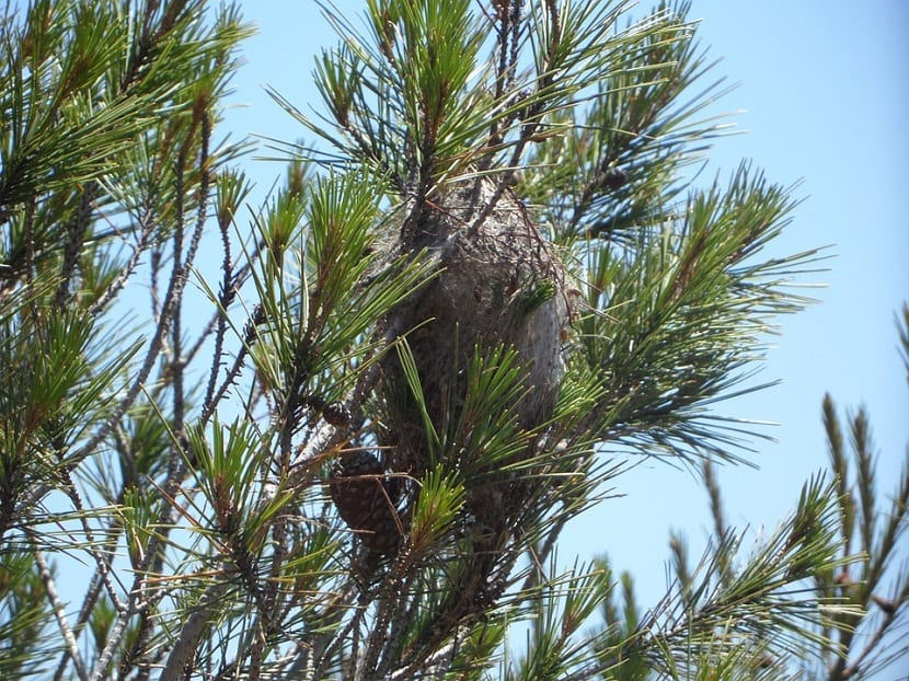 parte alta de un pino donde existe un nido de procesionarias